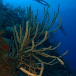 Divers Over Soft Coral