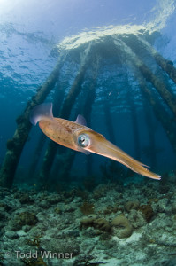 Caribbean Reef Squid, Salt Pier, Bonaire