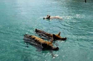 Come meet the swimming pigs at Staniel Key on the Aqua Cat
